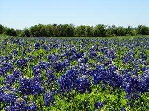 texas-bluebonnets-5-778702-m